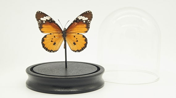 Bell Jar with a real Danaus Chrysippus Butterfly