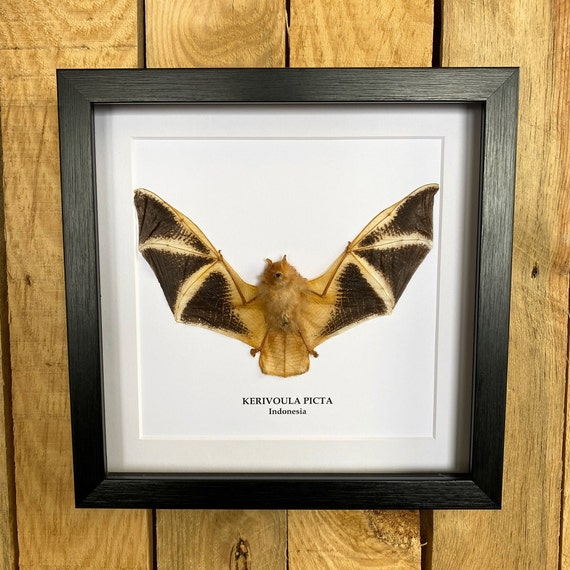 Kerivoula Picta  bat in frame Taxidermy,art,birthday gift,Gift for friend, entomology