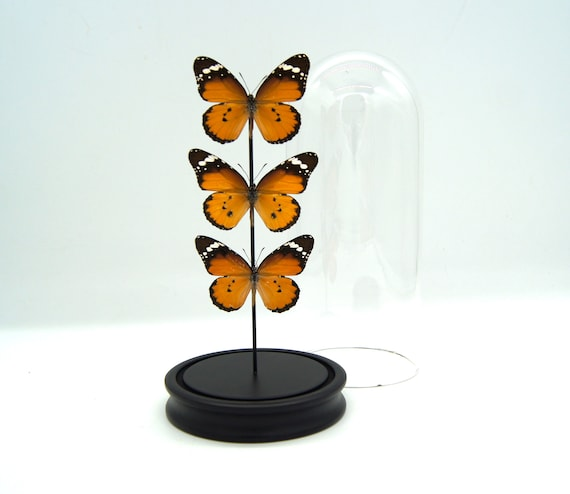 3X DANAUS CHRYSSIPUS in bell jar, Framed Butterfly Butterfly Box Frame taxidermy entomology nature, beauty insect taxidermy photography