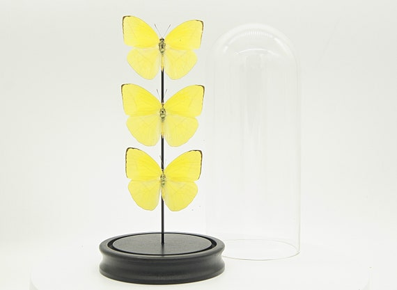 Bell Jar with 3 Phoebis statira  butterflies, Box Frame taxidermy entomology nature, beauty insect taxidermy photography