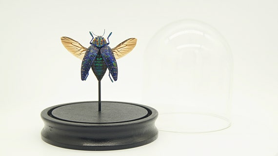 Polybothris Sumptuosa gema in Bell Jar, Butterfly Box Frame taxidermy entomology nature, beauty insect taxidermy photography