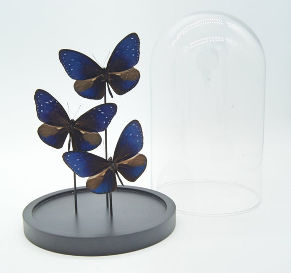 3 Euploea Mulciber butterflies in bell jar, Butterfly Box Frame taxidermy entomology nature, beauty insect taxidermy photography