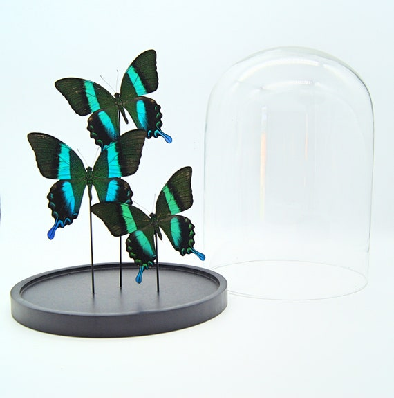 Bell jar with 3 Real Papilio Blumei butterflies
