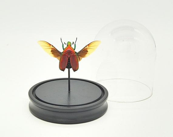 Bell Jar with a real Torynorrhina flammea
