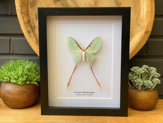 """Actias Dubernardi female framed """"Chinese moon moth"""" ,Butterfly Box Frame taxidermy entomology nature, beauty insect taxidermy photography"""