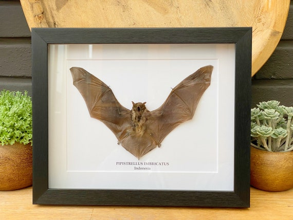 Real Framed bat Pipistrellus Imbricatus ,Butterfly Box Frame taxidermy entomology nature, beauty insect taxidermy photography