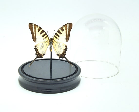 Graphium antiphates Butterfly bell jar, Butterfly Box Frame taxidermy entomology nature, beauty insect taxidermy photography