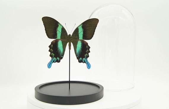Papilio Blumei butterfly in bell jar, Butterfly Box Frame taxidermy entomology nature, beauty insect taxidermy photography