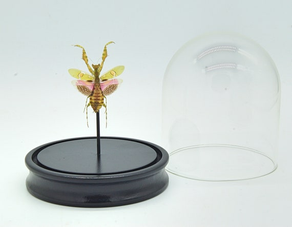 Bell Jar with a real Creobroter Gemmatus, Butterfly Butterfly Box Frame taxidermy entomology nature, beauty insect taxidermy photography