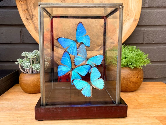 Mix of Morpho Portis and aega in a glass display .Butterfly Frame taxidermy entomology nature, beauty insect taxidermy photography