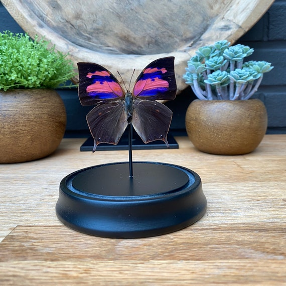 Bell Jar with a real Anaea Nessus butterfly, Taxidermy,art,birthday gift,Gift for friend, entomology