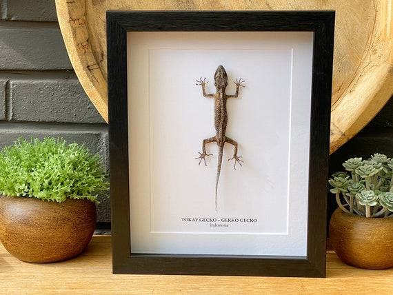 Real Framed Tokay Gecko ,Butterfly Box Frame taxidermy entomology nature, beauty insect taxidermy photography