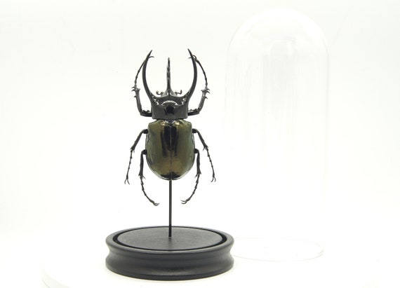 Chalcosoma caucasus beetle in bell jar, Butterfly Box Frame taxidermy entomology nature, beauty insect taxidermy photography
