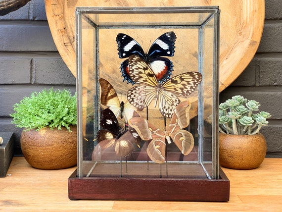Nature color butterfly collection in a glass display .Butterfly Butterfly  taxidermy entomology nature, beauty insect taxidermy photography
