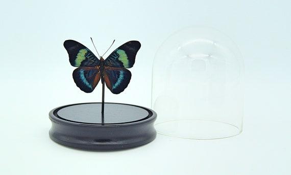 Panacea Prola in bell jar handmade,Entomology,taxidermie,Nature,Entomologie