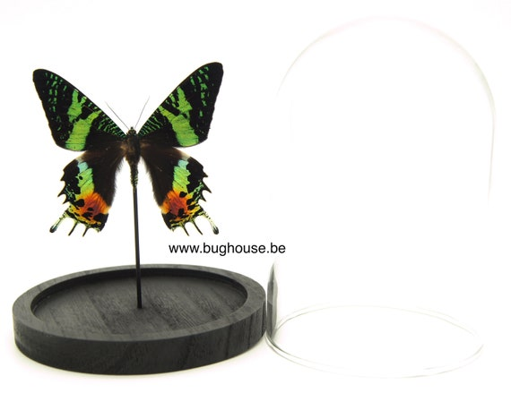 Urania ripheus butterfly (Sunset moth) in bell jar ,Taxidermy,art,birthday gift,Gift for friend, entomology