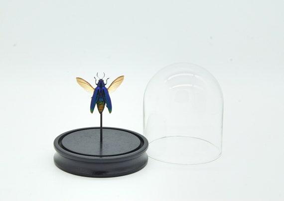 Bell Jar with a real Chrysochroa Fulminanus blue