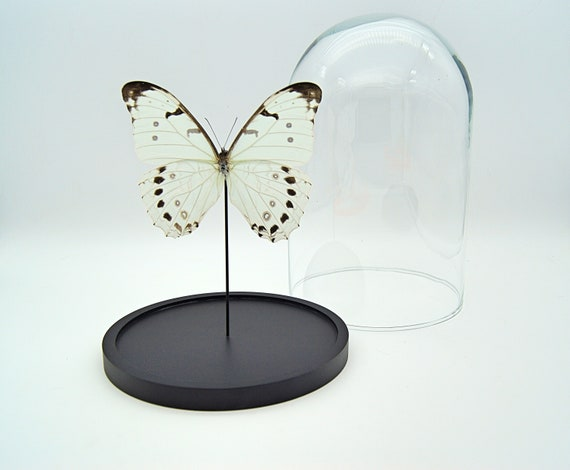 Morpho Luna butterfly in bell jar,Butterfly Box Frame taxidermy entomology nature, beauty insect taxidermy photography