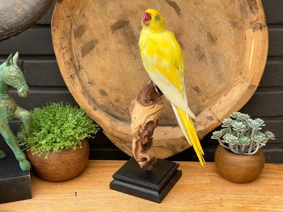 "Real Taxidermy bird "" Yellow Psittacula krameri"" --> Only sale in EU ""Cites Appendix II"""