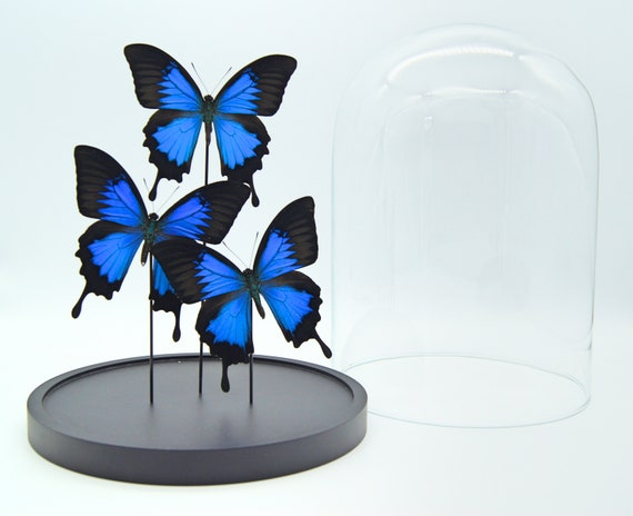 Bell jar with 3 Real Papilio Ulysses butterflies