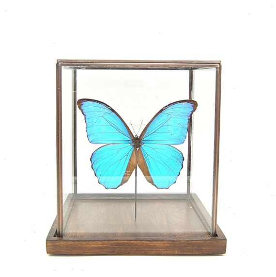 Morpho Didius glass display ,Butterfly Butterfly Box Frame taxidermy entomology nature, beauty insect taxidermy photography
