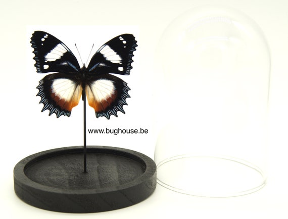 Hypolimnas Dexitheay Bell jar, Butterfly Box Frame taxidermy entomology nature, beauty insect taxidermy photography