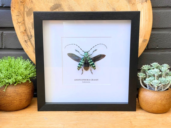 Framed Anoplophora Graafi, Butterfly Box Frame taxidermy entomology nature, beauty insect taxidermy photography