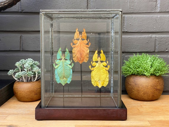 Leaf insect collection in a glass display .Butterfly Butterfly Box Frame taxidermy entomology nature, beauty insect taxidermy photography
