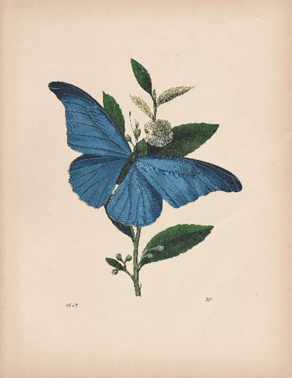 Blue Butterfly Vintage Illustration Wall Art Butterfly | Etsy