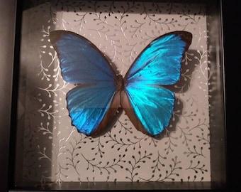 Steel Blue Morpho
