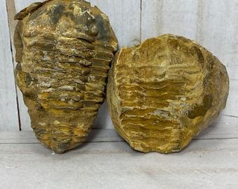 Trilobite fossil mold and cast, Calymen trilobite | rewal, fossil, fossil decor, morocco fossil, fossil collectible, trilobite specimen