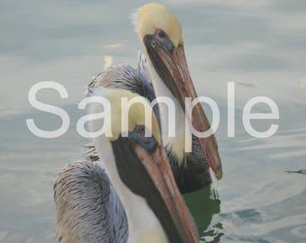 Pelican 8x10 Photograph