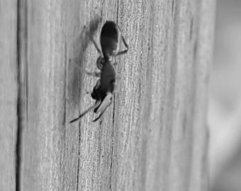 Black and white ant photo