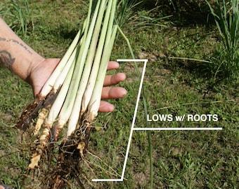 Luray Lemongrass 12 Live PLANTS starter/rooted plugs (Cymbopogon Citratus) ~A Beebop Farm™ Product~ 2021