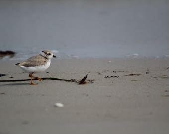 Piping Plover Chick - Digital Download- Instant