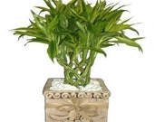Lucky BAMBOO Seeds - 95 Budding Rate, Simple to grow from the seed - x20 seed pack