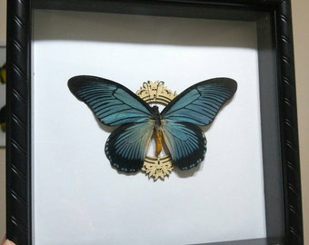 Papilio Zalmoxis Giant Swallowtail Butterfly Real Framed Butterfly- Home Decor, Birthday, Gift, Anniversary, Collectible, Father's Day