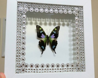 Real framed butterfly - Graphium Weiskei in a white shadow box frame - Insect taxidermy, home decor, birthday, gift, mother's day
