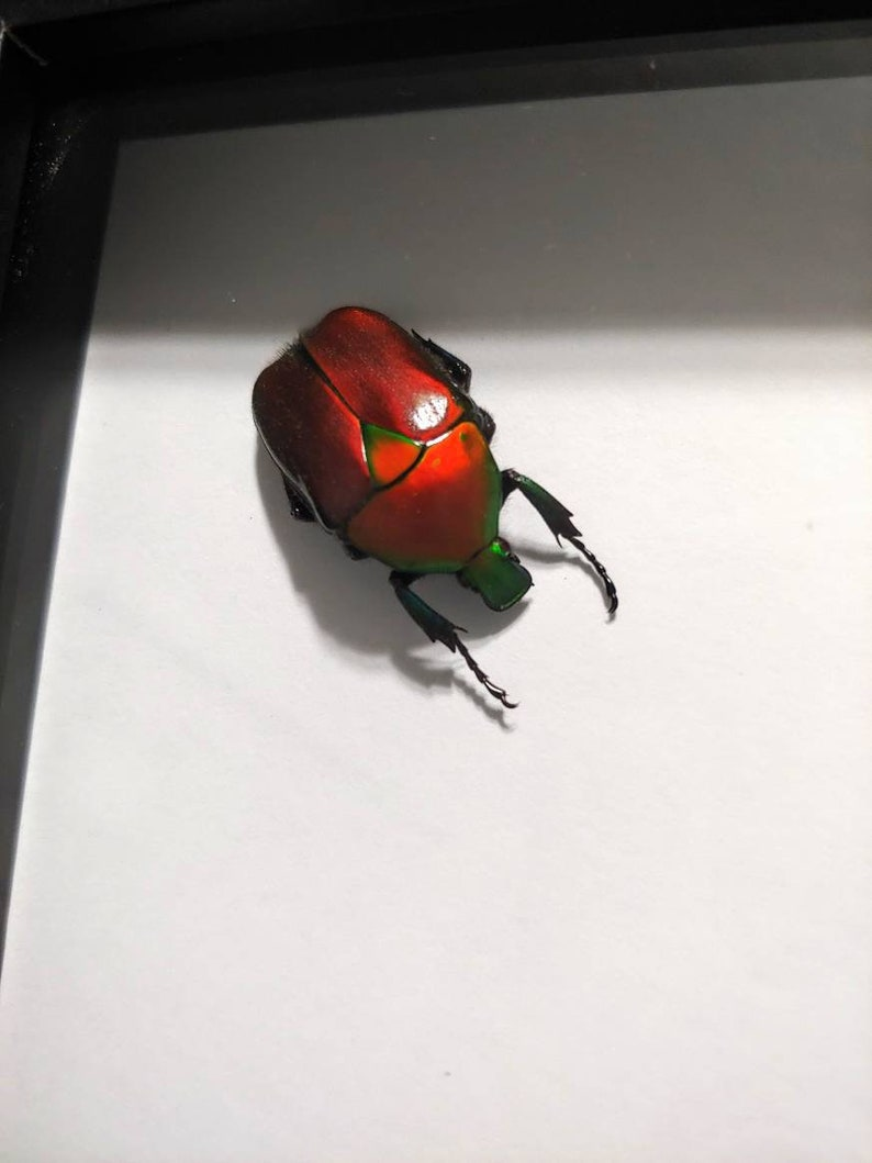 Red Beetles Flower Beetle- Insect Taxidermy Framed Beetle Real Framed Beetles Beetle Shadow Box Beetle Taxidermy Rhomborrhina Flamea