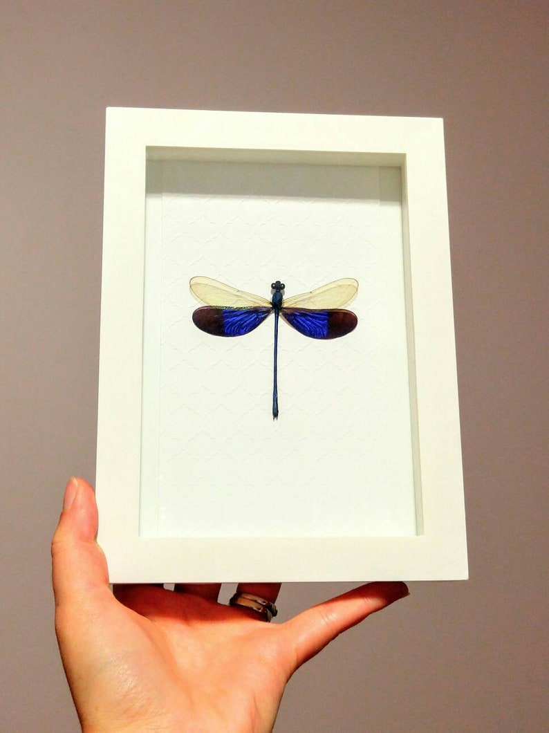 Shadow Box Frame- Home Decor Real Framed Damselfly Real dragonfly, Framed Dragonfly Insect Taxidermy Neurobasis Kaupi Framed Insect