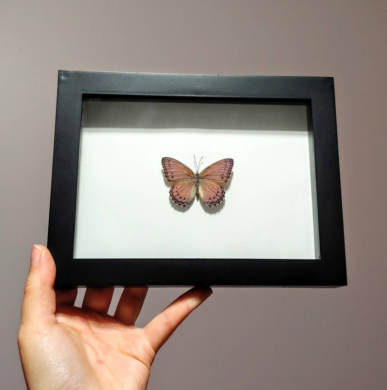 Real Framed Butterfly Insect Taxidermy Framed Butterfly Asterope Pechueli Black Shadow Box Frame- Home Decor Gift Butterfly Taxidermy