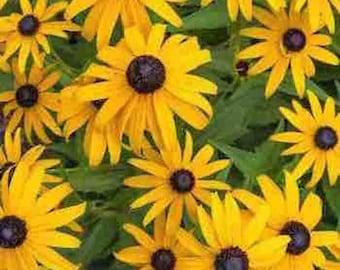 Black Eyed Susan - 100,000+ Seeds - Rudbeckia - 125 Grams
