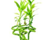 Lucky Bamboo Feng Shui