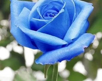 blue rose etsy