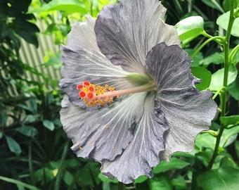 Hibiscus seeds | Etsy
