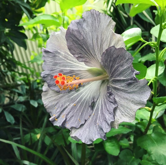 Silver Gray Giant Hibiscus Seeds, Hibiscus Syriacus, Dinner Plate ...