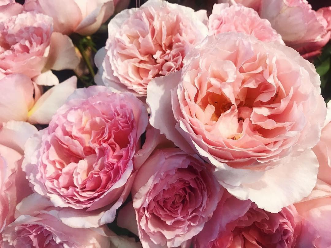 25 Princess Charlene De Monaco Hybrid Tea Rose | Etsy