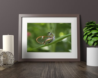 Glass Winged Butterfly Photo Print | Butterfly Wall Art and Butterfly Home Decor| Wildlife Photography | (5x7, 8x10, 10x15, 12x18, 16x24, 20