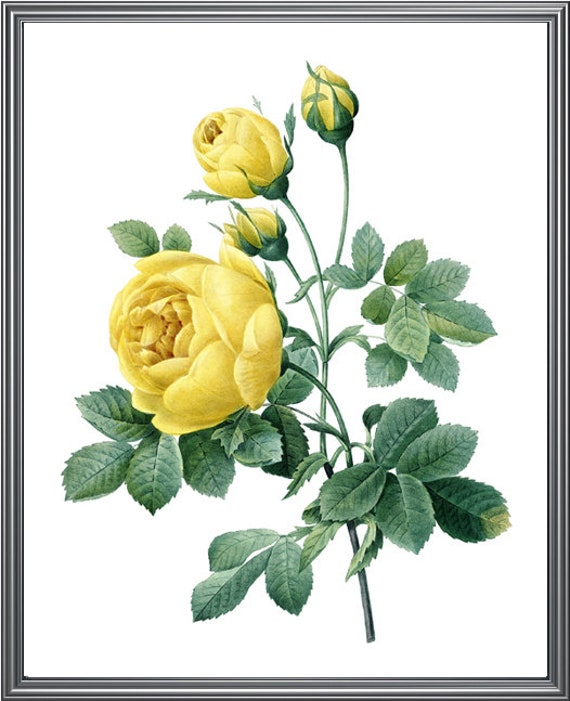 Yellow Roses Printable, P.J. Redoute Antique Rose Illustration, Wall on home depot nursery, home depot tomato, home depot lawn grass, home depot fertilizer, home depot home, home depot lavender, home depot grow, home depot vegetables, home depot variety, home depot daisies, home depot landscaping, home depot containers, home depot bare root roses, home depot gift baskets, home depot climbing roses, home depot seeds, home depot water, homedepot plants, home depot watering, home depot organic gardening,