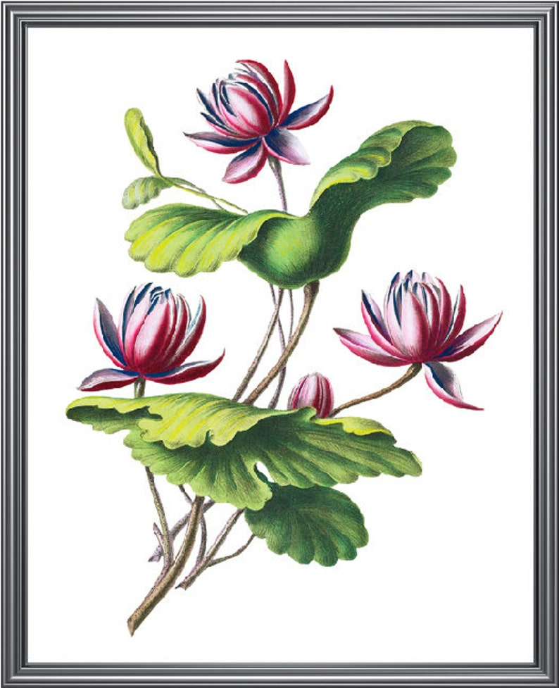 Indian Lotus Printable Image Vintage Illustration Flower Etsy